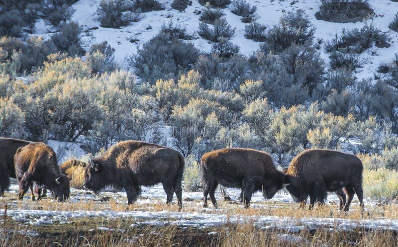 Lös buffel i vinter - Yellowstone nationalpark arkivfoton