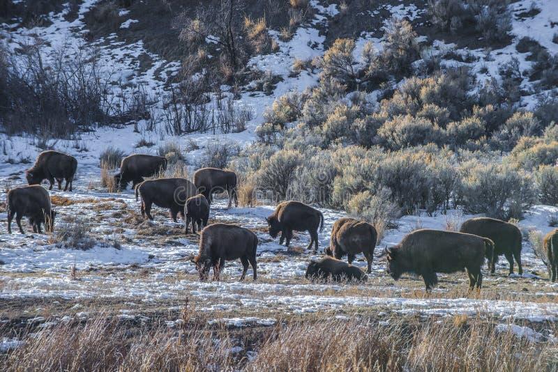 Lös buffel i vinter - Yellowstone nationalpark royaltyfria bilder