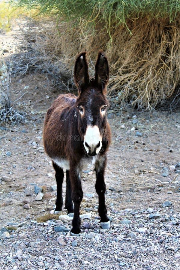 Lös Burro Earp, Kalifornien, Förenta staterna arkivfoton