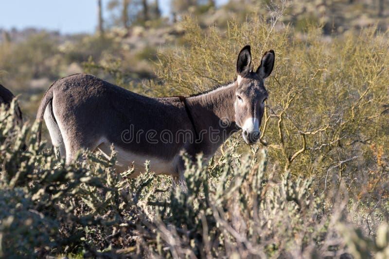 Lös Burro i den Arizona öknen arkivbilder