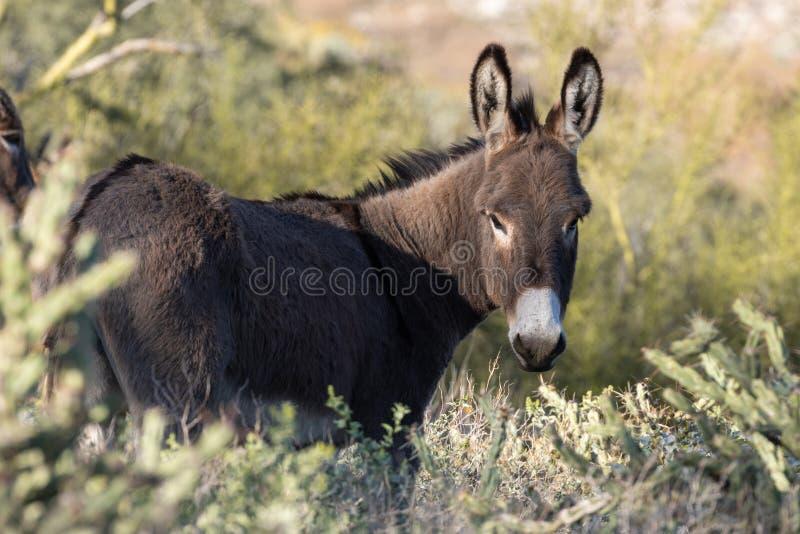 Lös Burro i den Arizona öknen i vår arkivbild