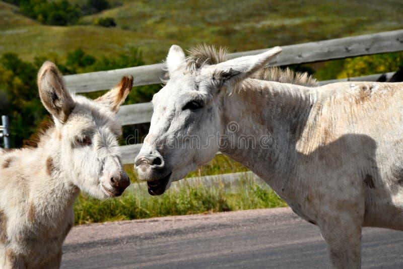 Lös Burro och att behandla som ett barn burroen arkivbilder
