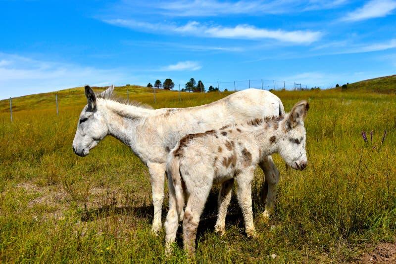 Lös Burro och att behandla som ett barn burroen som står i ett fält royaltyfri foto