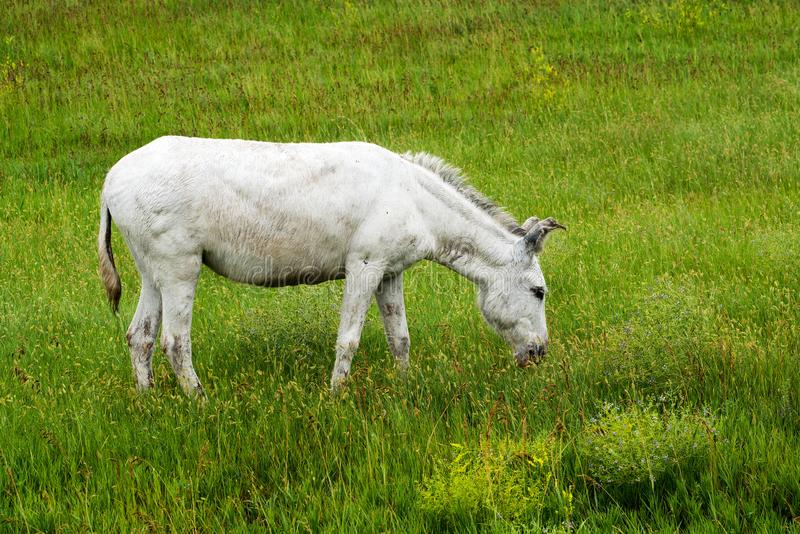 Lös Burro på Custer State Park arkivbilder