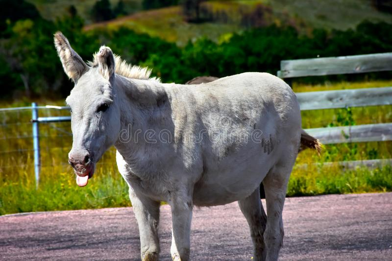 Lös Burro på Custer State Park royaltyfri bild