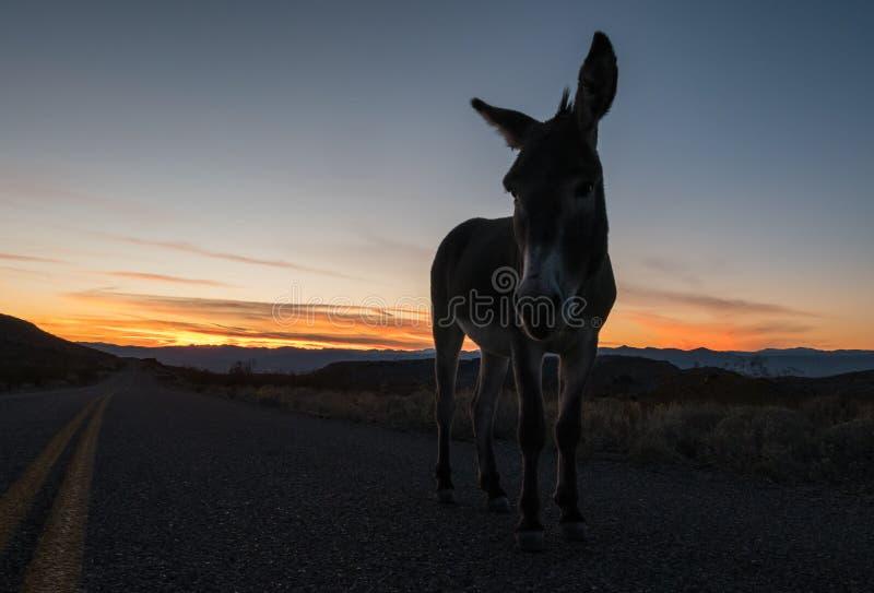 Lös Burro som går på Route 66 i Arizona royaltyfri fotografi