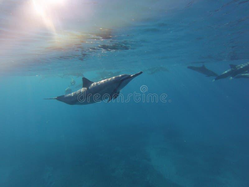 Lös delfin arkivfoton