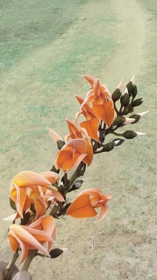 Lös djup orange kulör blomma i skogfältet & x22; Skogsbrand & x22; blomma arkivfoto