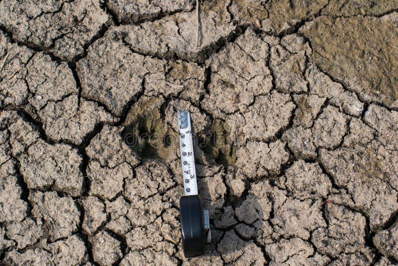 Lös djur djungelkatt Pugmark på Wet jordning royaltyfri foto