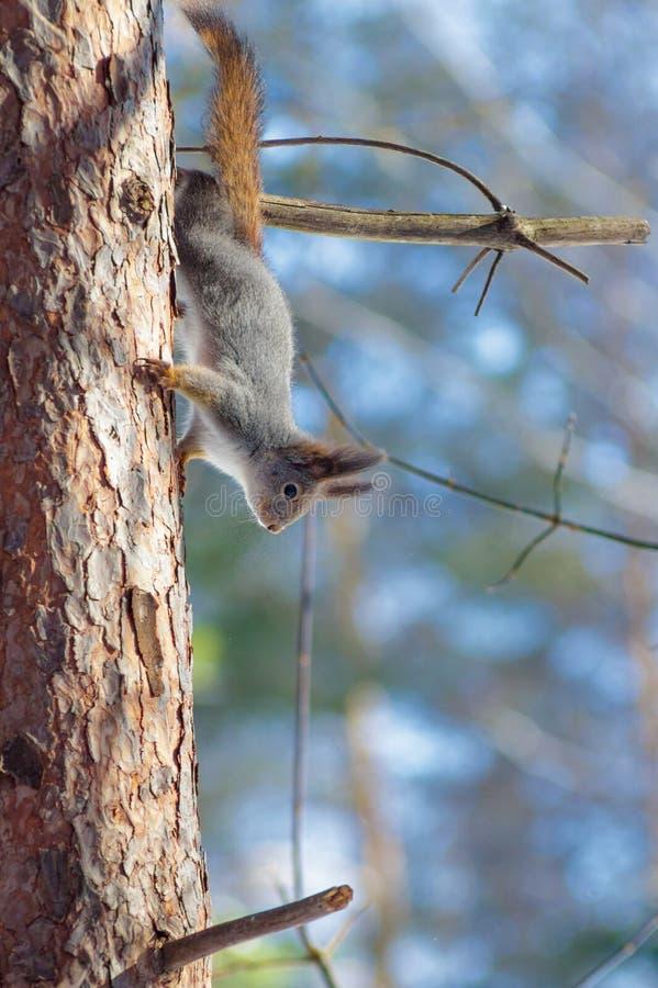 Lös ekorre som på våren sitter på en skog för träd royaltyfri bild