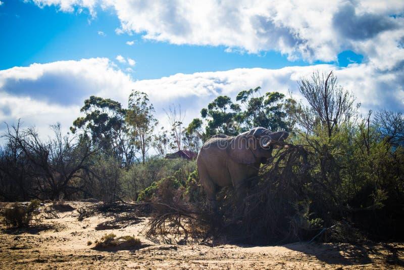 Lös elefant på safari royaltyfria foton