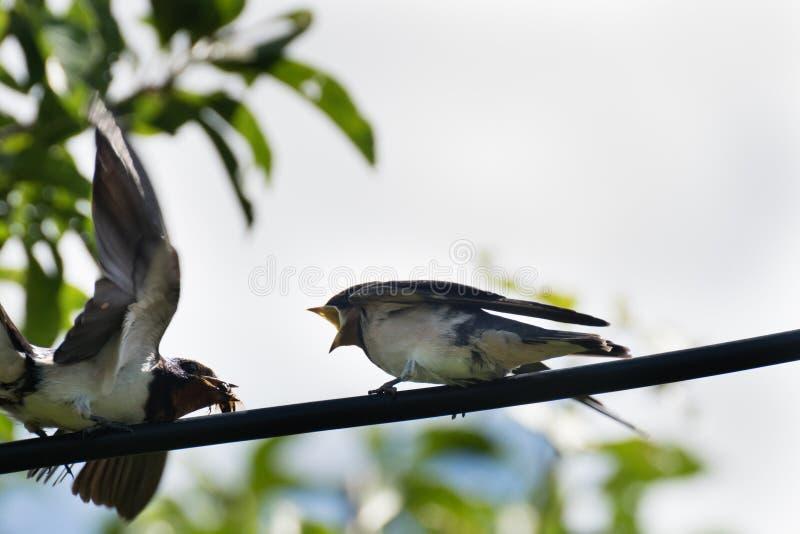 Lös fågel - martlet & x28; Delichonurbica & x29; matande it& x27; litet barn för s med mat royaltyfri foto