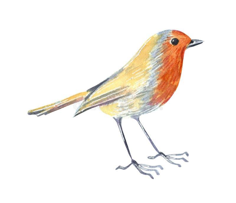 Lös fågelrödhake för liten trädgård Hand dragen vattenf?rgillustration stock illustrationer
