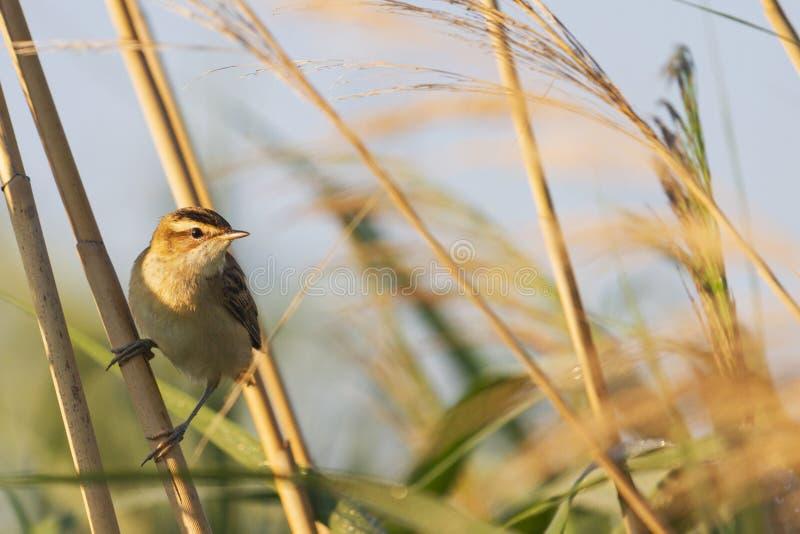 Lös fågelsångare i höstbusksnår royaltyfria foton