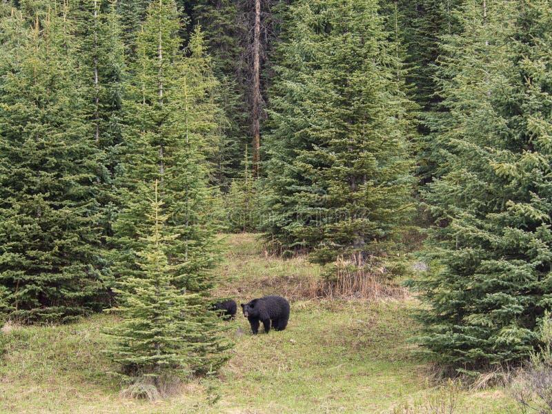 Lös familj för svart björn i Jasper National Park Alberta Canada fotografering för bildbyråer