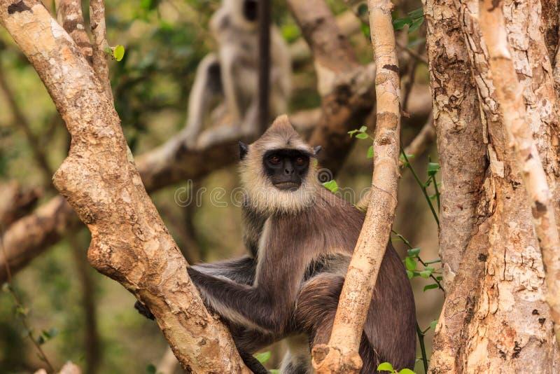 Lös Gibbon apa i ett träd, Yala nationalpark, Sri Lanka royaltyfria foton
