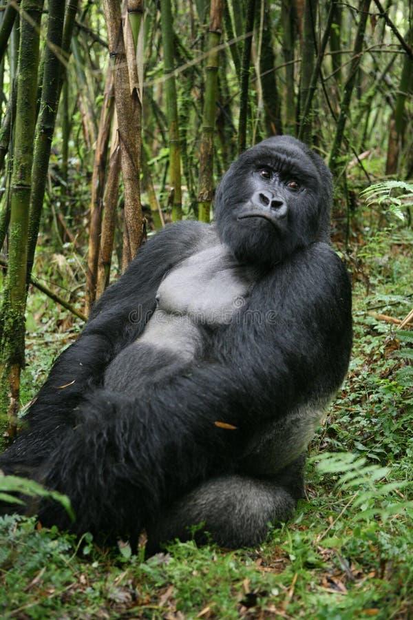 Lös Gorilla Rwanda Africa tropisk skog arkivbild