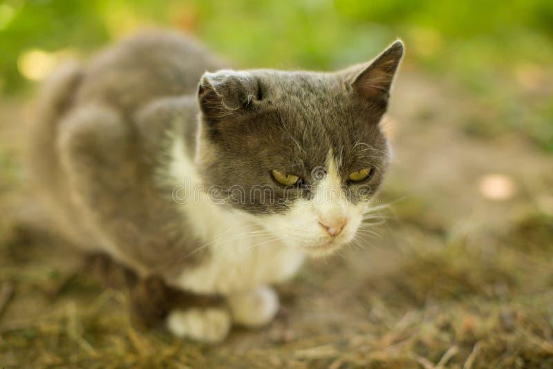 Lös grå katt fotografering för bildbyråer
