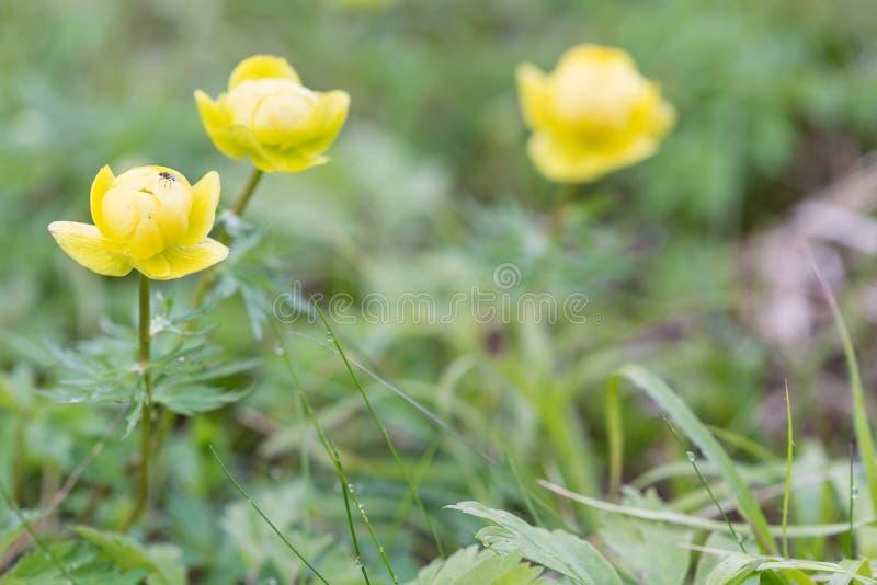 Lös gul pion i berg arkivfoton