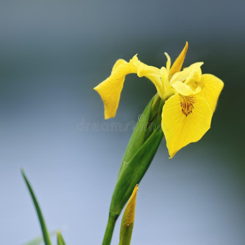 Lös gul svärdslilja (den gula flaggan) arkivfoton