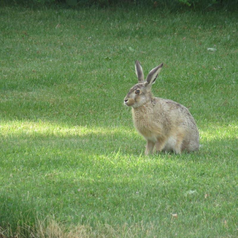 Lös hare på grönt gräs arkivbilder