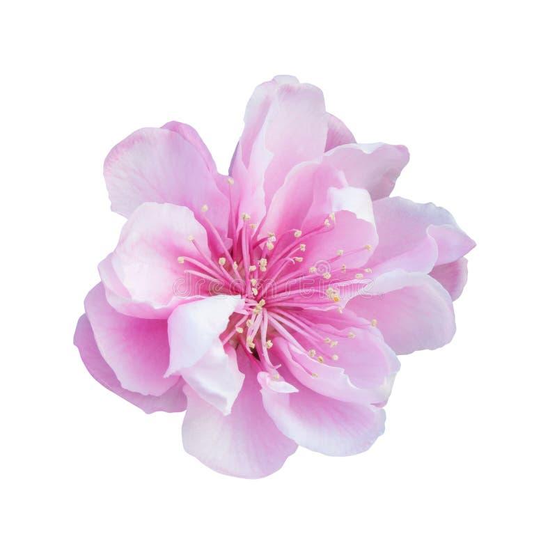 Lös himalayan körsbär eller sakura blomma royaltyfri fotografi