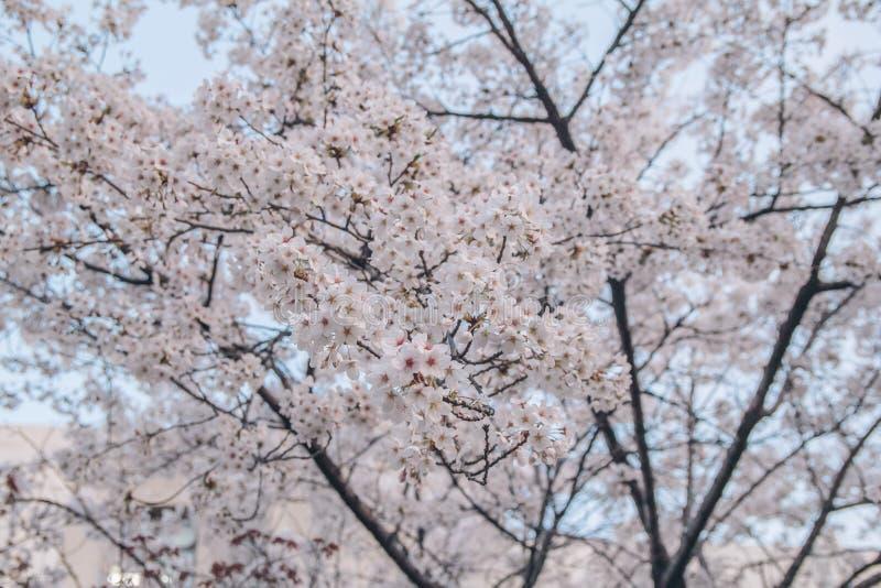 Lös Himalayan körsbär, Prunuscerasoides, sur körsbär, Cerasus ce royaltyfria bilder