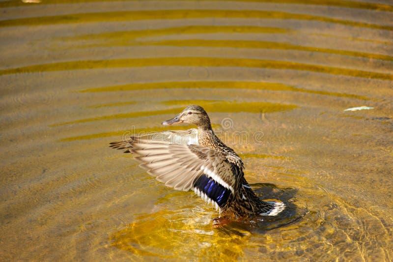 lös and i sommar på sjön I vattnet kvinnlig royaltyfri foto