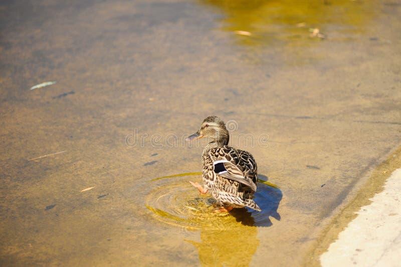 lös and i sommar på sjön I vattnet kvinnlig royaltyfria foton