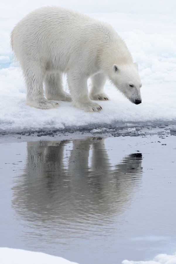 Lös isbjörn som ser till hans reflexion i vatten arkivbild