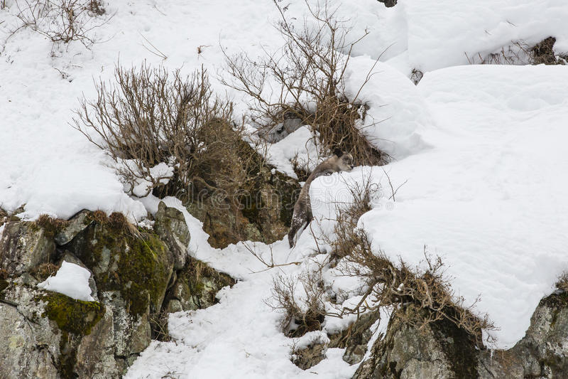 Lös japan Serow som klättrar Snowbank royaltyfri fotografi