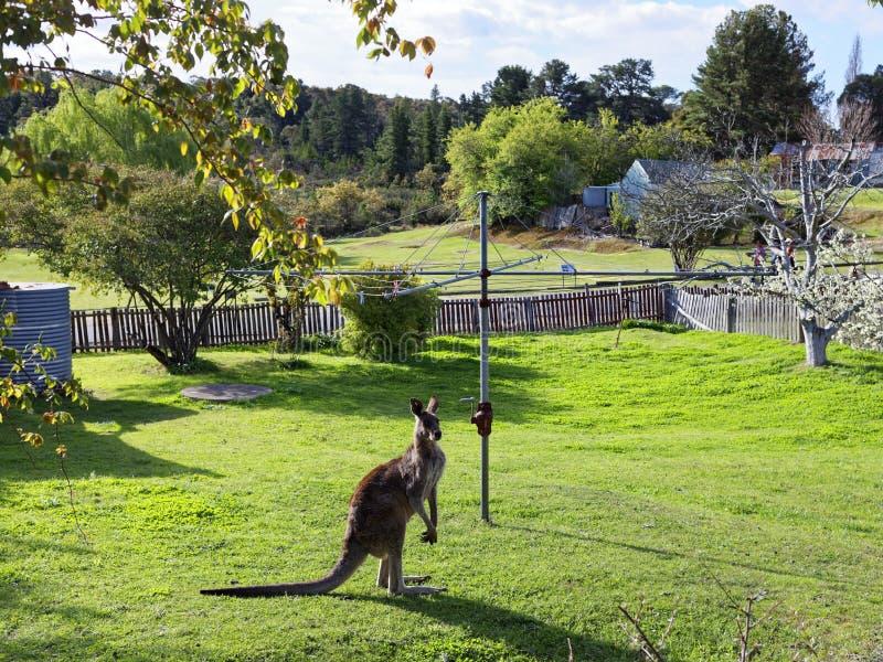 Lös känguru i australisk trädgård arkivfoto