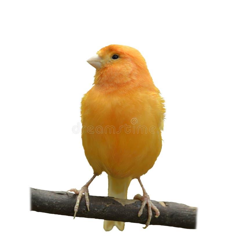 Lös kanariefågel arkivbilder