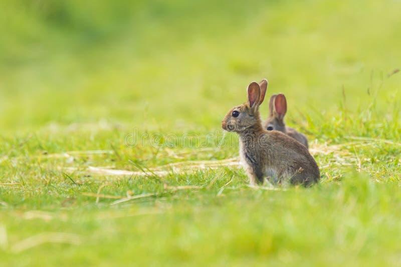 Lös kanin på grässlätt arkivbild