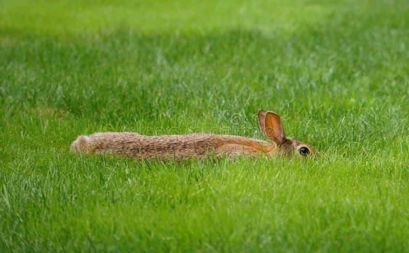 Lös kanin som försöker att dölja i det korta gräset royaltyfri bild