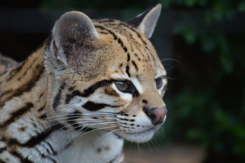 Lös katt för ozelot royaltyfria foton