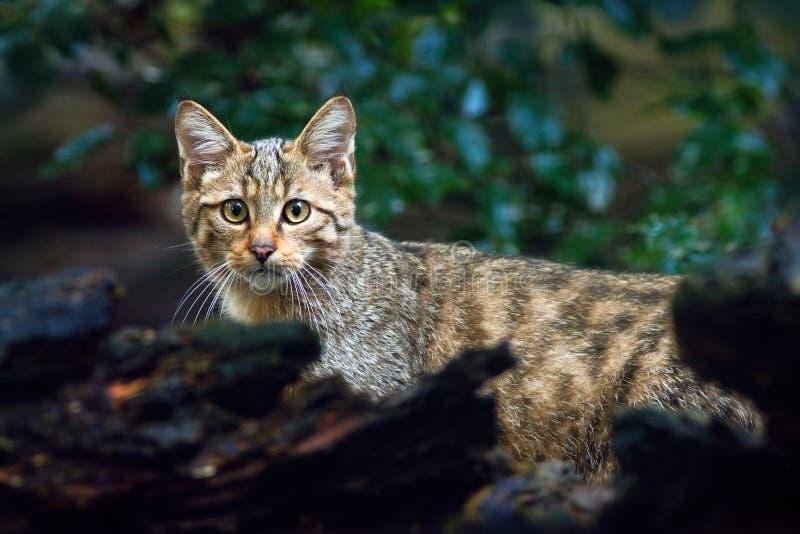 Lös katt, Felissilvestris, djur i livsmiljön för naturträdskog, Centraleuropa arkivbilder