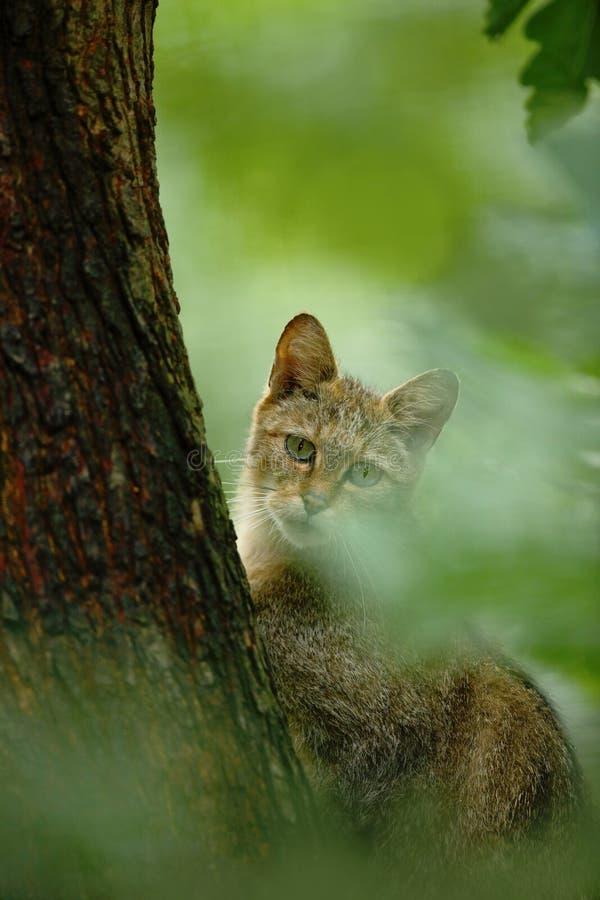 Lös katt, Felissilvestris, djur i livsmiljön för naturträdskog som döljas i trädstammen, Centraleuropa Djurlivplats för royaltyfri bild