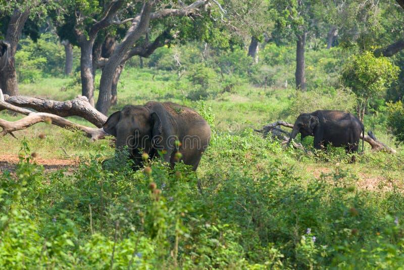 Lös ko för asiatisk elefant med en elefantkalv i skognationalparken Yala, Sri Lanka arkivfoton
