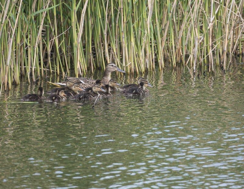 Lös kvinnlig gräsandand med youngsankungar Anasplatyrhynchos i vattnet Sk?nhet i natur Fj?dra den tid? ron l?mnar, naturlig bakgr royaltyfri foto