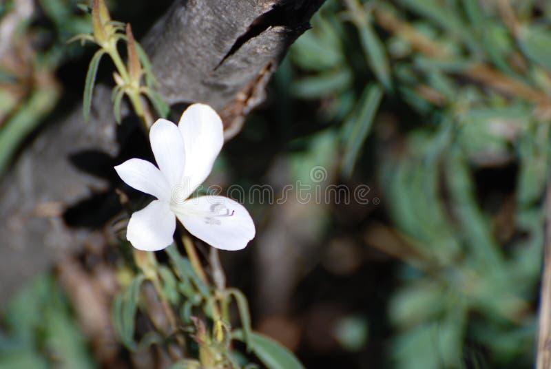Lös lilly - Kruger för afrikansk blomma nationalpark fotografering för bildbyråer