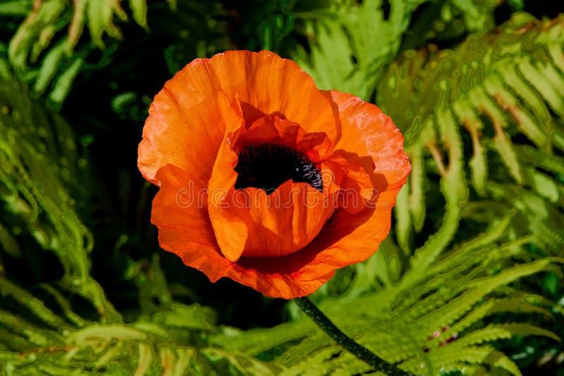 Lös ljus röd poppieblommanärbild Natur royaltyfri fotografi