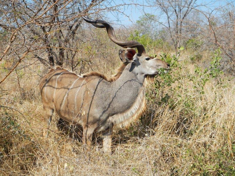 Lös manlig nyala som äter i den djupa savannahen, Kruger nationalpark, SYDAFRIKA arkivfoton