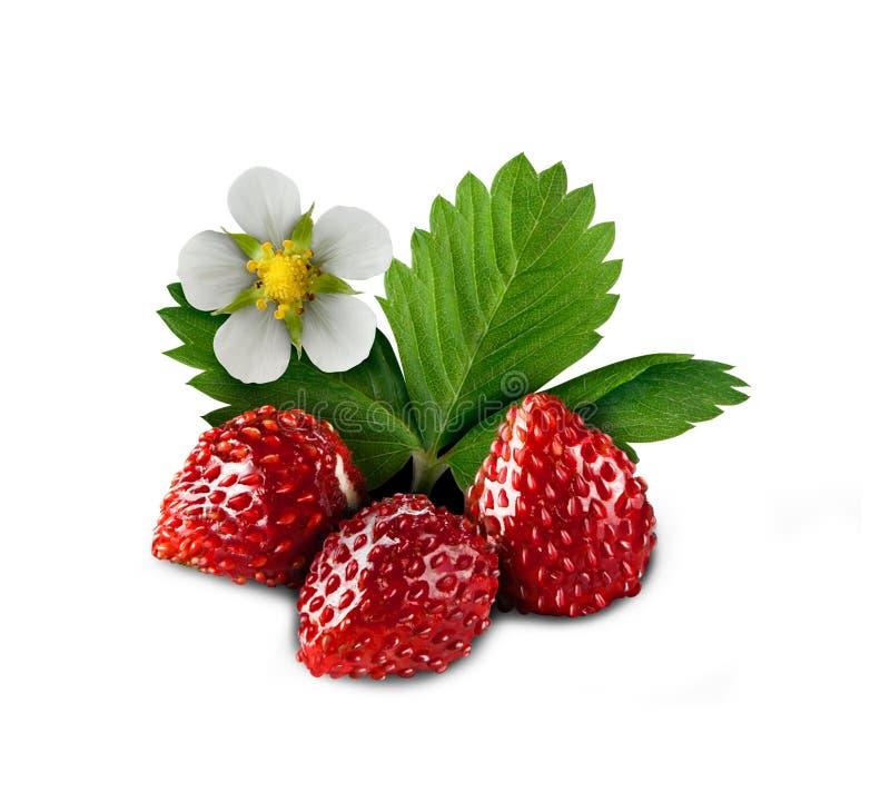 Lös mogen jordgubbe med gröna den isolerade blad- och blomningblomman fotografering för bildbyråer
