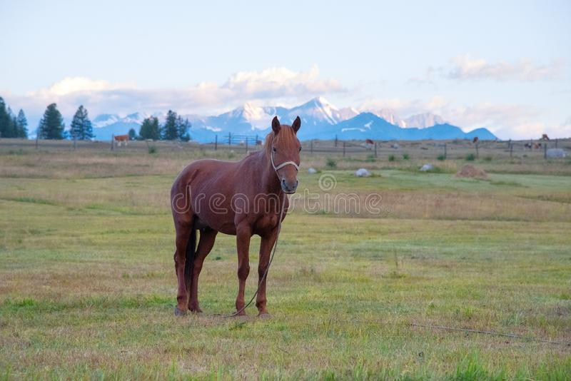 Lös natur av Altaien En härlig häst är betande i sten royaltyfri bild