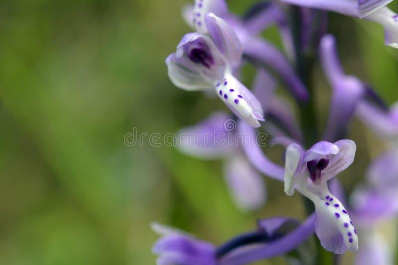 Lös orkidé av Sardinia royaltyfri fotografi