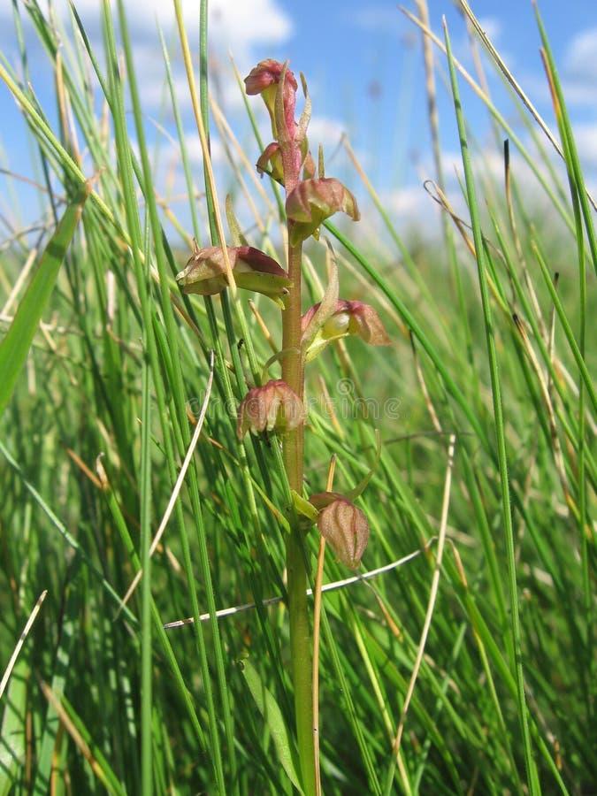 Lös orkidé, bruna blommor, grönt gräs, makro royaltyfri fotografi