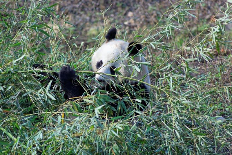 Lös pandabjörn i Qinling berg, Kina royaltyfri foto