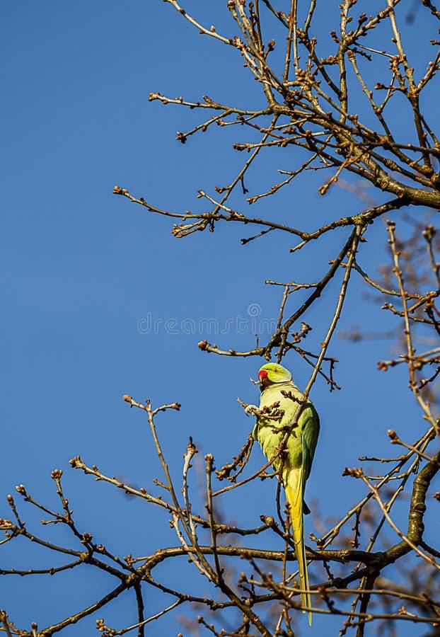Lös parakiter i träd royaltyfria bilder