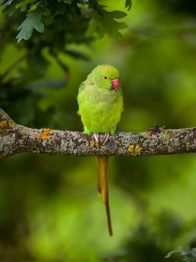 Lös parakiterfågel som sitter på filialen London royaltyfri fotografi